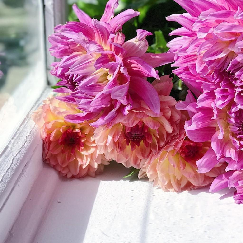 Good morning dalhia flowers