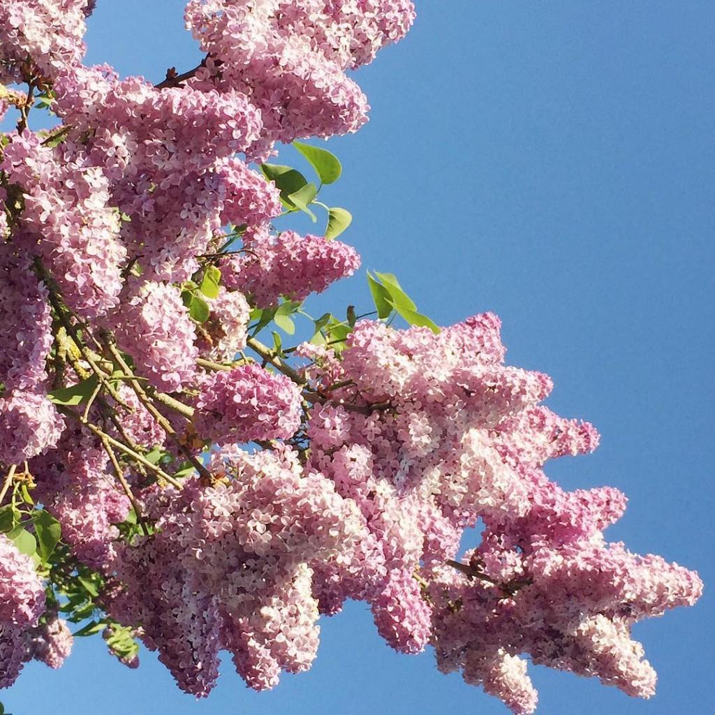 Lilas sur bleu Ici les arbres regorgent de fleurs cesthellip